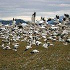 flock-geese