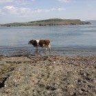 Sea-Cow