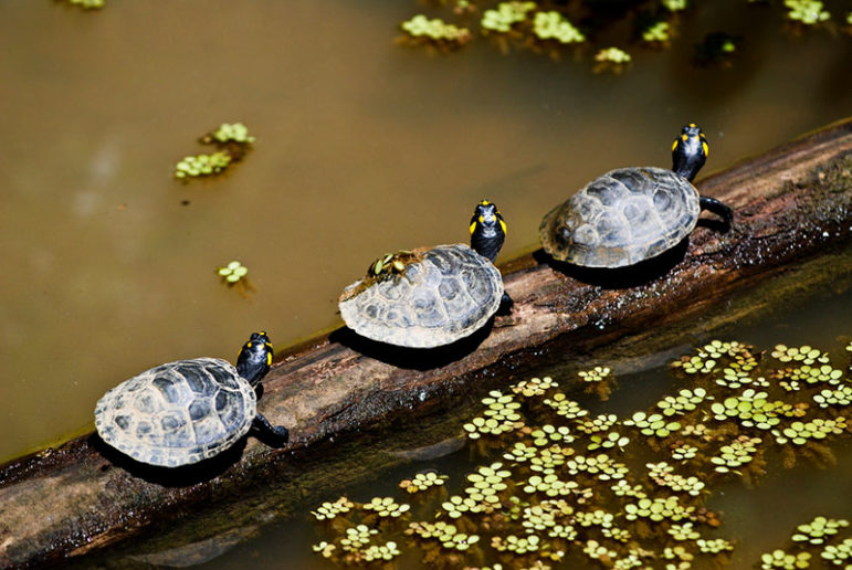 three-turtles