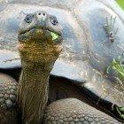 Galap-turtle
