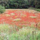 Meadoe-red