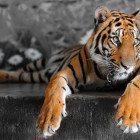 Tiger-chillin