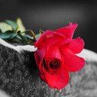 Rose-grave