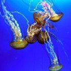 Jellyfish-merge