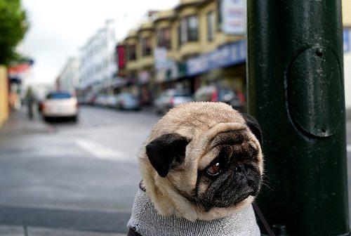 Pug hooking
