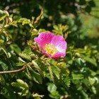 Sweet-Briar-rose