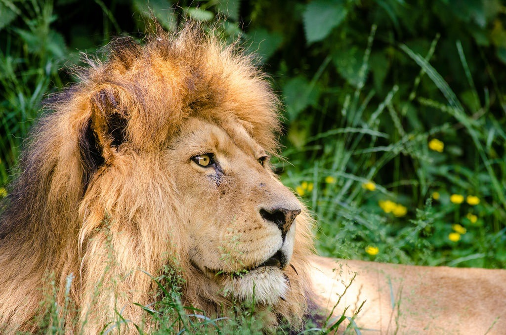African-lion-Cecil