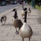 gooses-geeses
