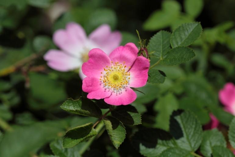 Sweet-Briar-roses