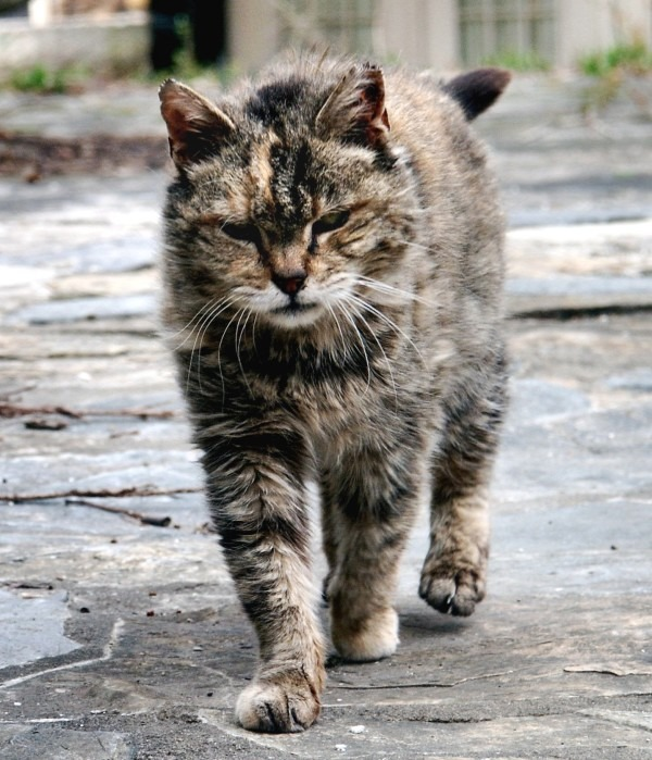 Feral_cat_Virginia_crop