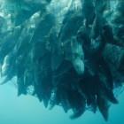 Fish-netting-caught