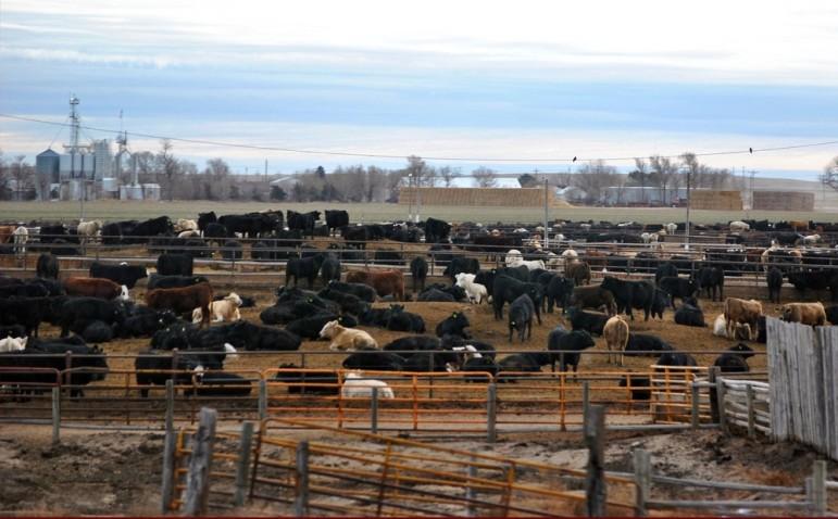Ft-Morgan-cows