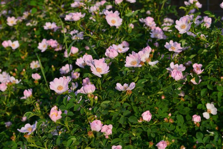 Sweet-Briar-flowers