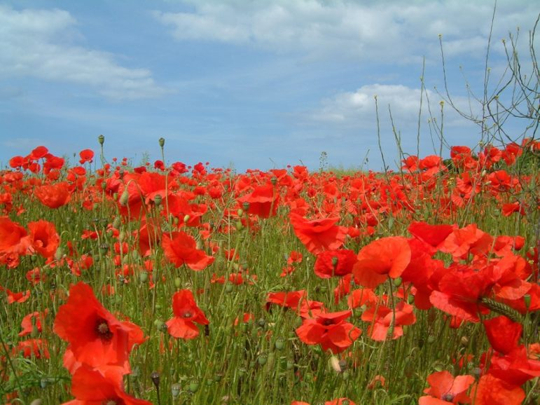 Veterans-poppies