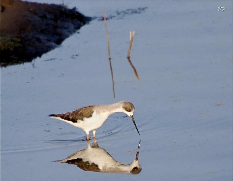 Bird-in-water
