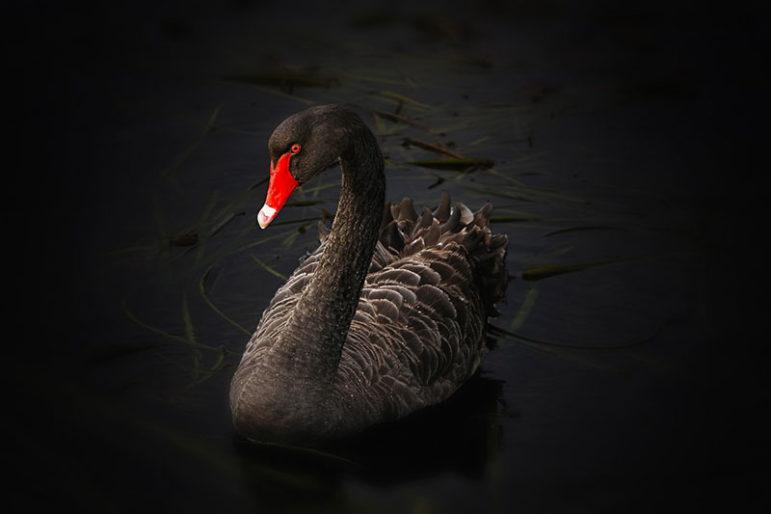 black-swan-122983_1280