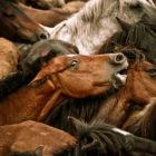 horses-infighting