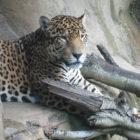 complacent-leopard