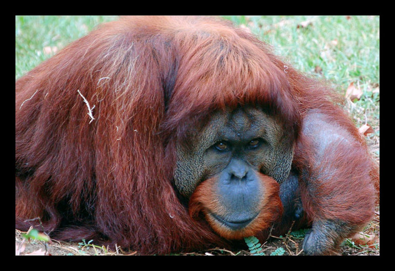 orangutan-beauty