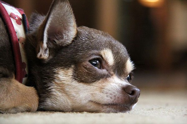 An adorable but sad or tired chihuahua puppy lying on the floor staring into space. It's brown with tan splotches on its face and paw. It's probably sad because it read the new BoardSource report of board diversity. Image obtained from Pixabay.com.