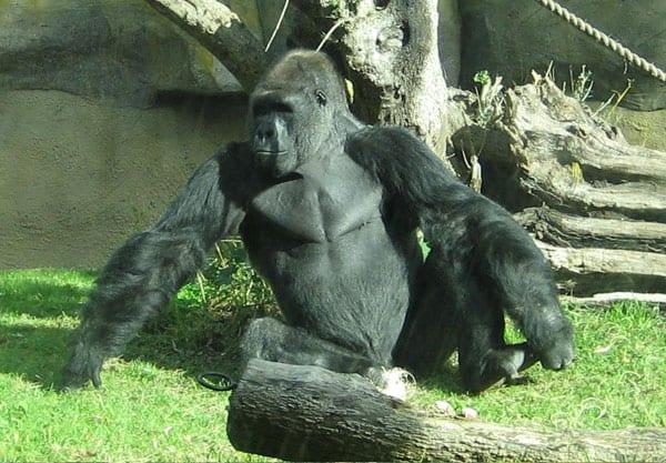 Gorilla dating site