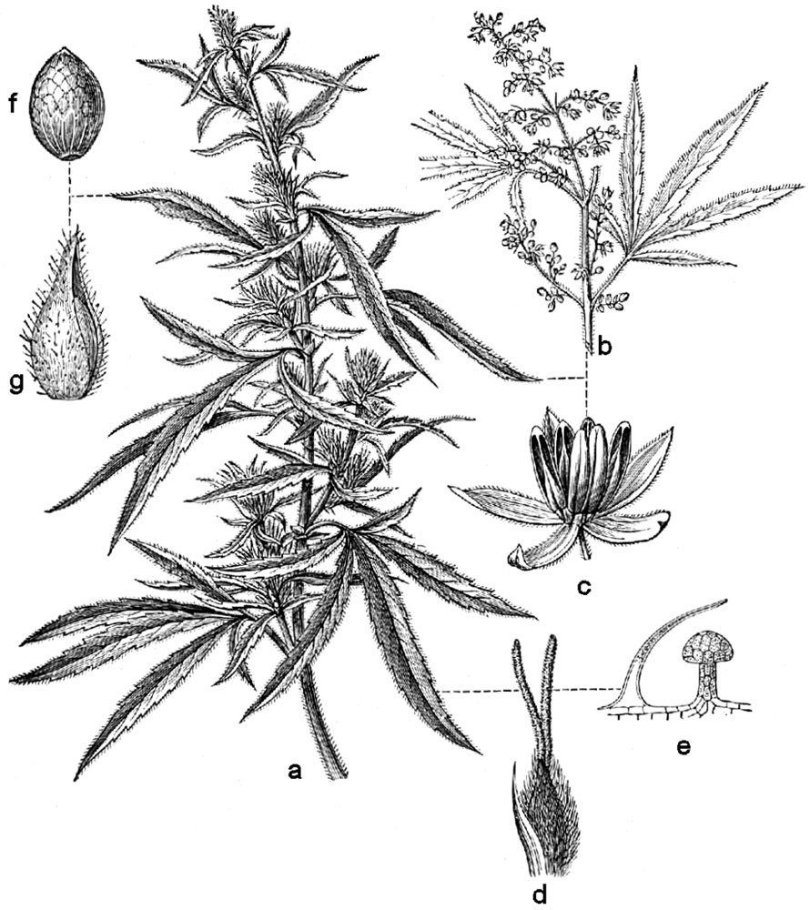 A line illustration of the cannabis sativa plant.