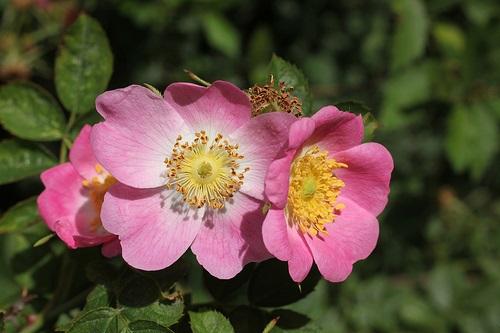 Sweet Briar Flower