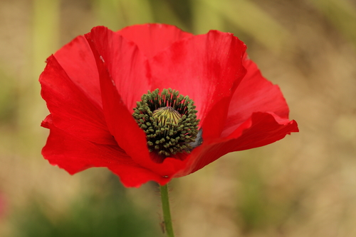 How to Wear a Remembrance Day Poppy (UK) forecast